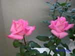 神代植物公園秋のバラ展を新宿駅西口イベント広場で観賞その3_7