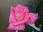神代植物公園秋のバラ展を新宿駅西口イベント広場で観賞その3_8