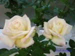 神代植物公園秋のバラ展を新宿駅西口イベント広場で観賞その3_10