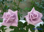 神代植物公園秋のバラ展を新宿駅西口イベント広場で観賞その3_11