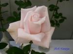 神代植物公園秋のバラ展を新宿駅西口イベント広場で観賞その3_12
