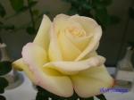 神代植物公園秋のバラ展を新宿駅西口イベント広場で観賞その3_14
