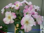 神代植物公園秋のバラ展を新宿駅西口広場で観賞その4_1