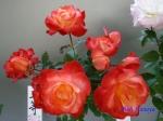 神代植物公園秋のバラ展を新宿駅西口広場で観賞その4_3