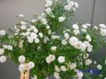 神代植物公園秋のバラ展を新宿駅西口広場で観賞その4_10