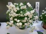 神代植物公園秋のバラ展を新宿駅西口広場で観賞その4_11
