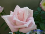 神代植物公園秋のバラ展を新宿駅西口広場で観賞その4_13
