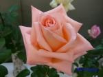 神代植物公園秋のバラ展を新宿駅西口広場で観賞その4_15