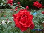 代々木公園で秋バラを観賞_1