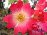 代々木公園で秋バラを観賞_3