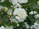 代々木公園で秋バラを観賞_6