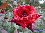 代々木公園の秋バラその2_1