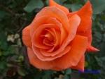 神代植物公園の秋バラ_2