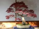 皇居東御苑の盆栽特別展_5