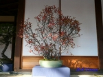 皇居東御苑の盆栽特別展_7