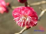皇居東御苑1月の花_2