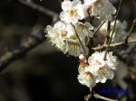皇居東御苑1月の花_12