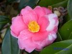 皇居東御苑1月の花その2_2