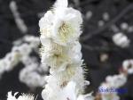 皇居東御苑1月の花その2_3