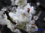 皇居東御苑1月の花その2_4
