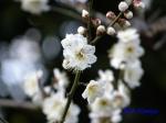 皇居東御苑1月の花その2_10