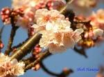 皇居東御苑1月の花その2_14