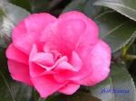 小石川植物園1月の花_1