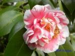 小石川植物園1月の花_3