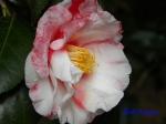 小石川植物園1月の花_15