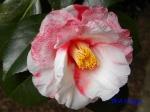 小石川植物園1月の花その2_1