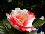 小石川植物園1月の花その2_3