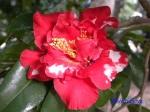 小石川植物園1月の花その2_8