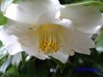 小石川植物園1月の花その2_12