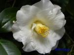 小石川植物園1月の花その2_13