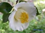 小石川植物園1月の花その2_14