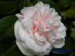 小石川植物園1月の花その2_!5
