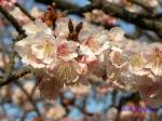 小石川植物園1月の花その3_2