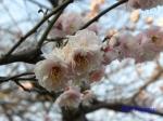 小石川植物園1月の花その3_3