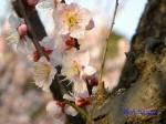 小石川植物園1月の花その3_4