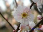小石川植物園1月の花その3_5