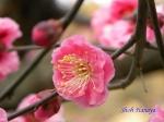 小石川植物園1月の花その3_6