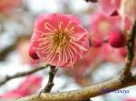 小石川植物園1月の花その3_7