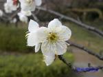 小石川植物園1月の花その3_9