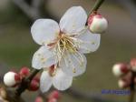 小石川植物園1月の花その3_10