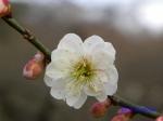 小石川植物園1月の花その3_11