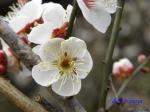 小石川植物園1月の花その3_12