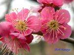 小石川植物園1月の花その3_13