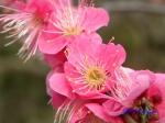 小石川植物園1月の花その3_14