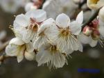 小石川植物園1月の花その3_15