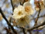 小石川植物園1月の花その3_16